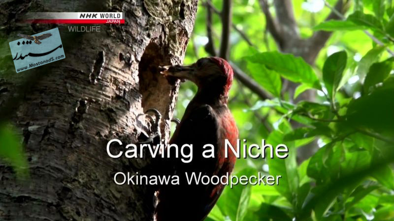 Okinawa Woodpecker