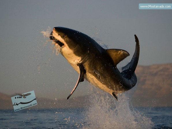 BBC - Great White Shark 1997