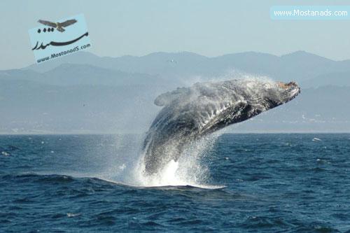 BBC - Wildlife Specials - Humpback Whale 1997