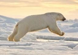 قاتلین بالفطره: خرس قطبی