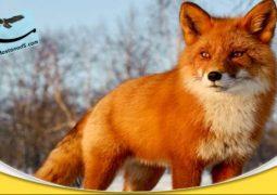 روباههای کوتوله (دوبله فارسی)